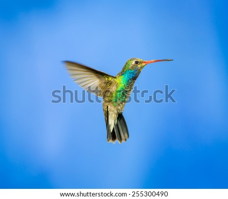Broad Billed Hummingbird hovering against a blue background protecting his territory. These birds are found in central Mexico. This picture would make an ideal subject for a painting, calendar and art - stock photo