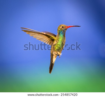 Broad Billed Hummingbird hovering against a deep blue background. These birds are found in central Mexico. This picture could be used as an art background. This is an older bird that has signs of age. - stock photo