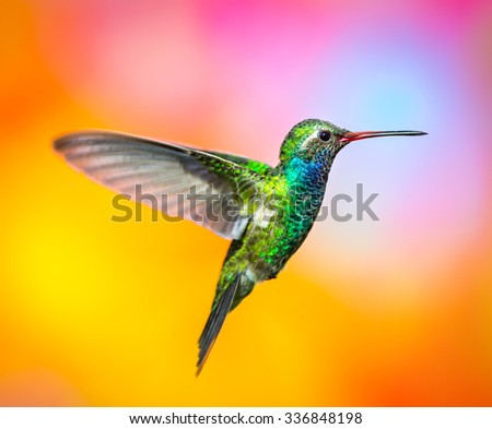 Broad billed Hummingbird. Hummingbird art and crafts. This is a new line of shots using a multicolored background to show the beauty of the bird to a new level. - stock photo