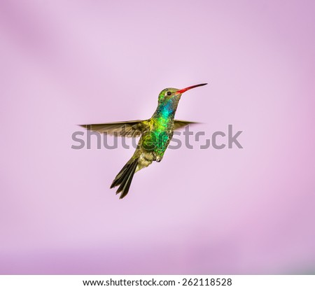 Broad Billed Hummingbird. Part of my new hummingbird art collection using different patterned material in the background to create a one of a kind image.  - stock photo