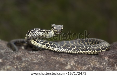 Broad-headed Snake (Hoplocephalus bungaroides)