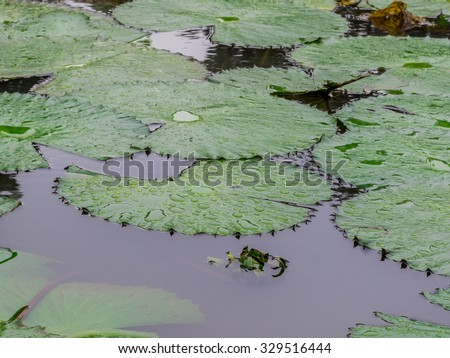 Broad leaves of the White Lotus, also known as the European white waterlily or the white water rose, floating in a small pond at the Bamako Zoo in Mali - stock photo