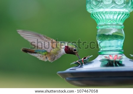 Broad-tailed hummingbird male at feeder - stock photo
