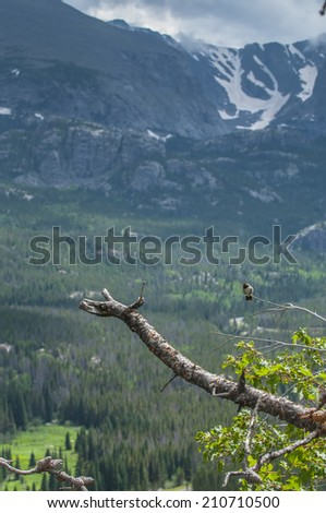 Broad tailed Hummingbird sitting on pine twig tree with Mountain view in Rockies Colorado - stock photo