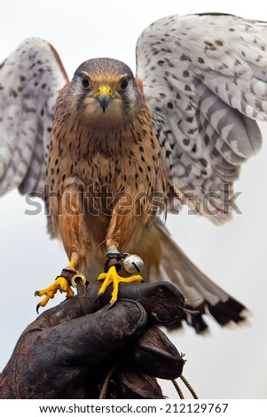 BROCKENHURST, UK - JULY 31: An adult male Kestrel bird of prey is exhibited by handlers for the public to view at the New Forest show on July 31, 2014 in Brockenhurst.
