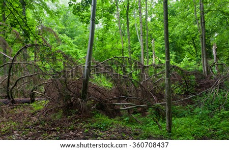 Broken dead spruce tree lying among hornbeam in summertime stand of Bialowieza forest,Bialowieza forest,Poland,Europe
