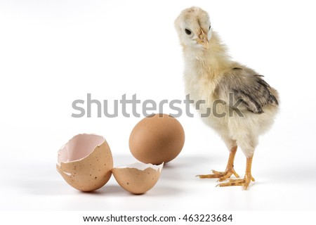 Broken egg and chicken isolated on white background with shadow