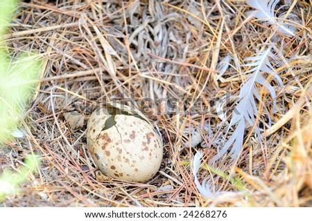 broken egg in the nest - stock photo