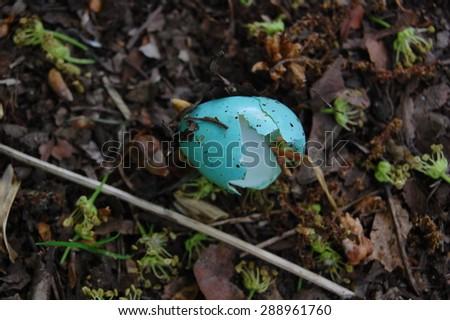 Broken eggshell of a thrush on the forest floor. - stock photo