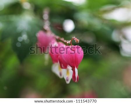 Broken heart flowers with raindrops - stock photo