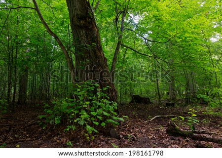 Broken linden tree still alive against juvenile stand in summer - stock photo