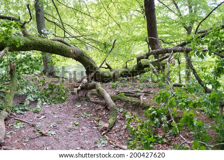 Broken oak tree as damage from a storm in a forest - stock photo