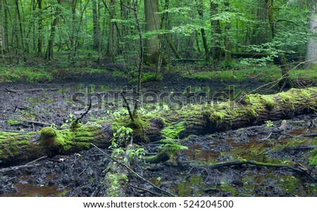 Broken oak tree lying in mud, Bialowiea Forest, Poland, Europe
