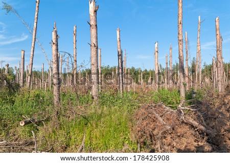 Broken pine trunks after tornado.   - stock photo