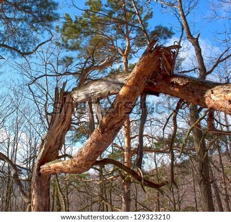Broken tree - stock photo