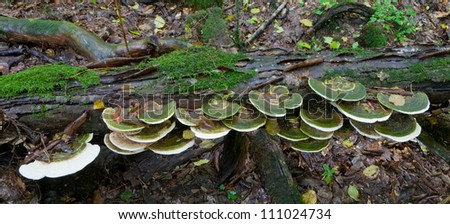 Broken tree moss wrapped with large bunch of Polypore fungi in late summer - stock photo