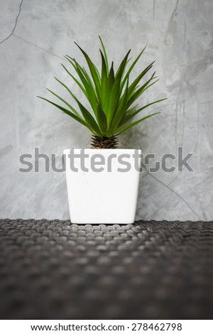 Bromeliad or Agave species, on Table Top, by the Concrete Wall, Selective Focus, Blur Background - stock photo