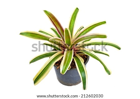 Bromeliad with a white background.