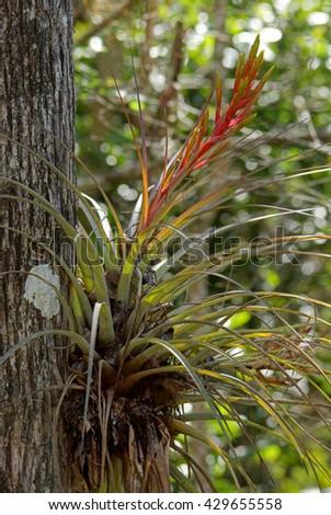 Bromeliads - [Bromeliaceae] - stock photo