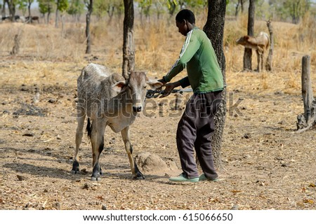 BRONG AHAFO, GHANA - JAN 15, 2017: Unidentified Fulani man binds the bull to the tree in the local village. Fulanis are ethnic group of Ghana