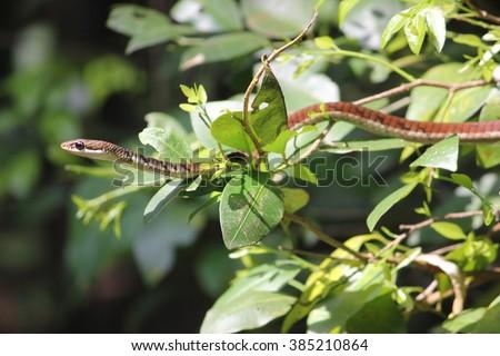 Bronze back tree snake  - stock photo