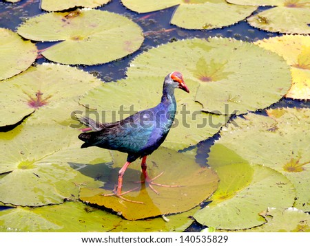 Bronze-winged Jacana bird in lotus lake, South of Thailand. (Metopedius indicus.)