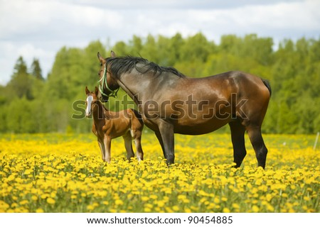 Broodmare with colt on a dandelion field - stock photo
