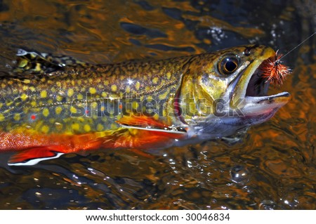 Brook Trout - stock photo