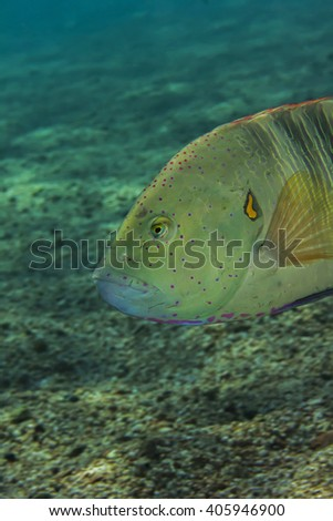 Broomtail Wrasse - stock photo