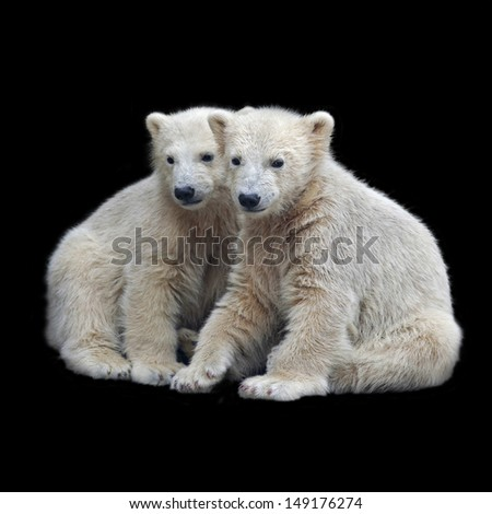 Brotherhood of polar bear cubs. Closeup portrait of cute white bear kids on black background. Beautiful children, which will be the most dangerous beasts of Arctic. - stock photo