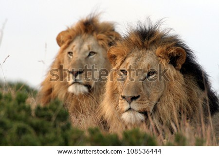 Brothers in arms. Two male lions.