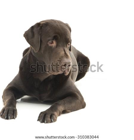 Broun labrador dog isolated on white - stock photo