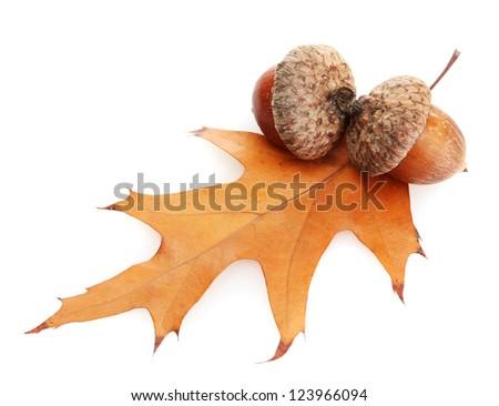 brown acorns on autumn leaf, isolated on white - stock photo