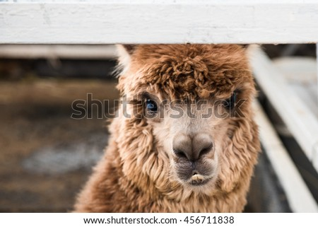 Brown alpaca, close-up - stock photo