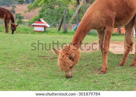 Brown alpaca in Thailand - stock photo