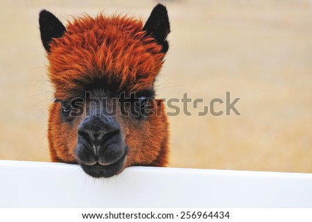 Brown alpaca on country ranch - stock photo