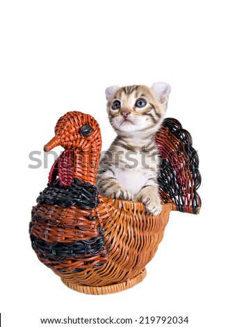 Brown American curl kitten in wicker Thanksgiving Turkey basket , isolated on white - stock photo