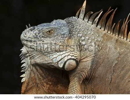 Brown and blue-green iguana with large throat fan close up against a black background - stock photo