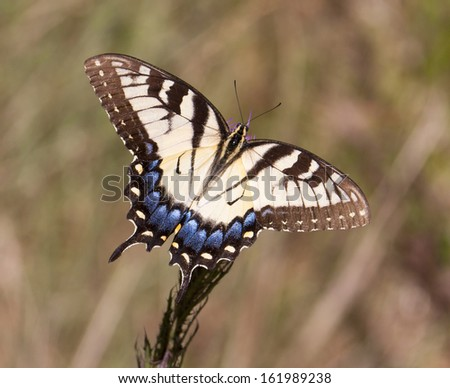 Brown and blue tailed butterfly - stock photo