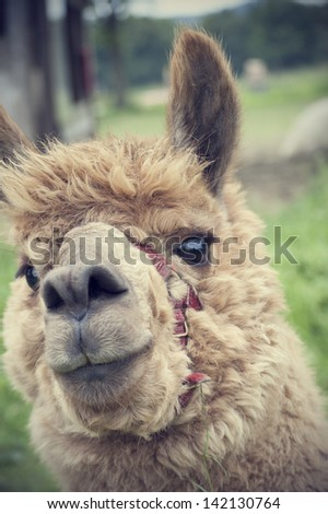 Brown and cute alpaca, portrait, animal that has wool with the quality - stock photo