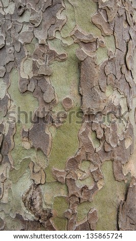 Brown and green camouflage - sycamore bark background. - stock photo