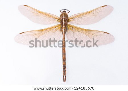 Brown and orange dragonfly isolated - stock photo