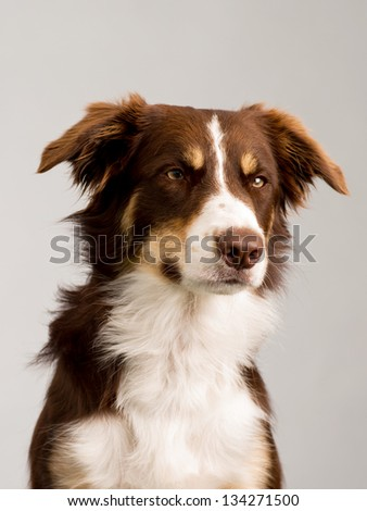 brown and white bordercollie in studio - stock photo
