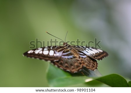 Brown and white clipper Butterfly (Parthenos Sylvia) sitting on a leaf, with focus on head and antenna. - stock photo