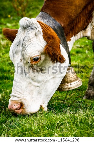 Brown and white cow eating grass with bell around its neck