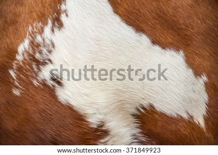 Brown and white cow fur texture as background image
