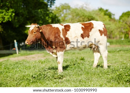 Brown And White Cow Grazing On Green Pasture Field