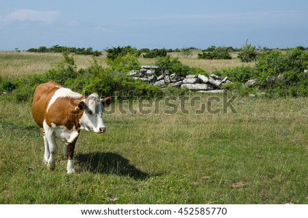 Brown and white cow in a green pasture land with an old stone wall - stock photo
