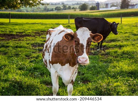 Brown and White cow looking back at camera in farm pasture in rural Pennsylvania. - stock photo