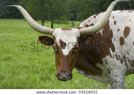 Brown and white cow with huge horns - stock photo